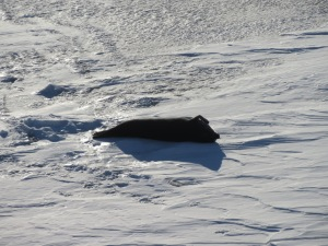 A seal that we saw. There were about five of them out there that evening. The seal don't often move so they end up looking a lot like massive black slugs on the ice. My very limited goggle-ing tells me this is a Weddell seal. This guy was scratching his tummy with a really weird look hand/fin thing.